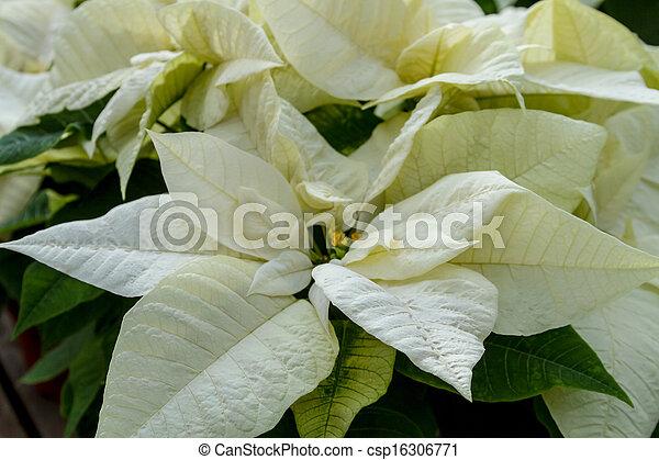 Poinsettias White Poinsettia Plants On Display