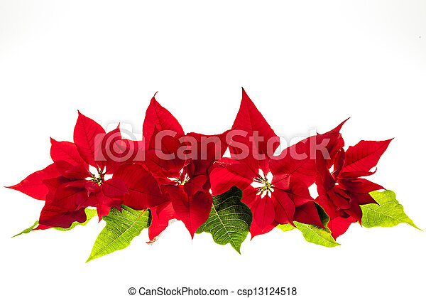 Arrangement mit Weihnachten Poinsettias - csp13124518