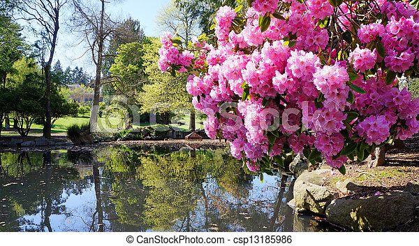 Point Defiance park in Tacoma, WA. USA. Pink rhododendron near pond. - csp13185986