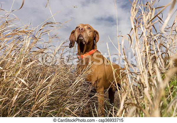 pointer dog seen from below through grass - csp36933715