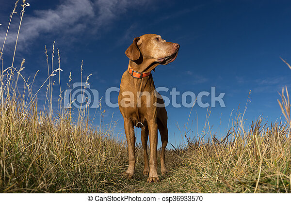 pointer dog standing in grass outdoors - csp36933570