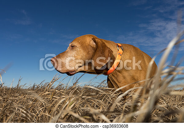 pointer dog standing in grass outdoors - csp36933608