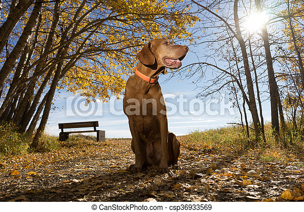 pointing dog sitting outdoors in the park - csp36933569