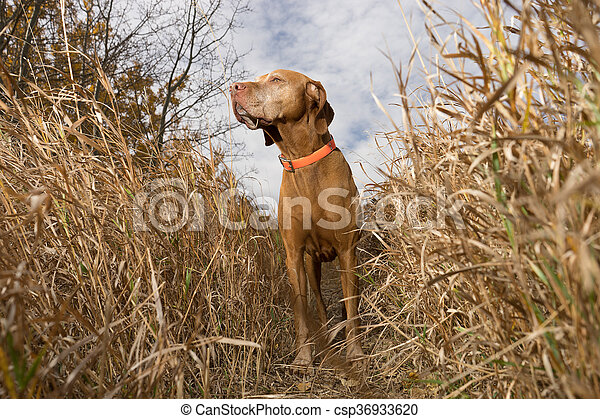 pointing dog standing in tall grass outdoors - csp36933620