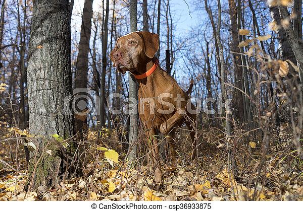 pointing golden dog in forest - csp36933875