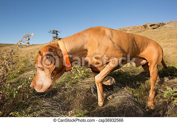 pointing vizsla dog in field - csp36932566