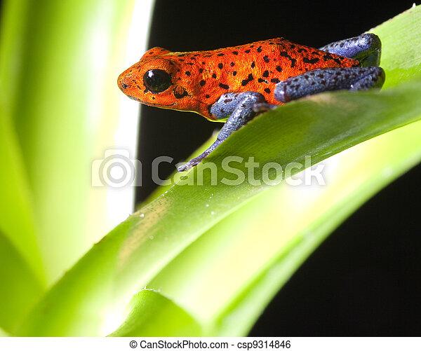 poison dart frog - csp9314846