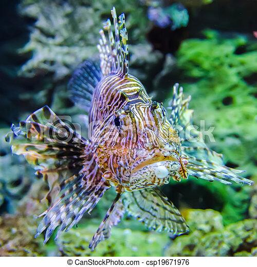 poisonous exotic zebra striped lion fish - csp19671976