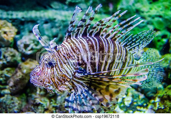 poisonous exotic zebra striped lion fish - csp19672118