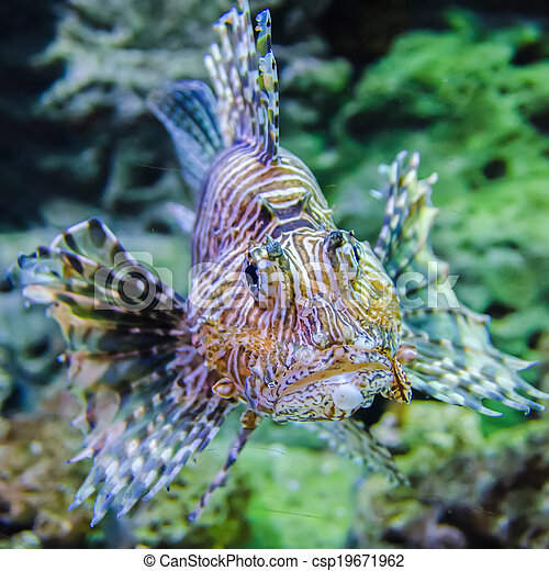 poisonous exotic zebra striped lion fish - csp19671962