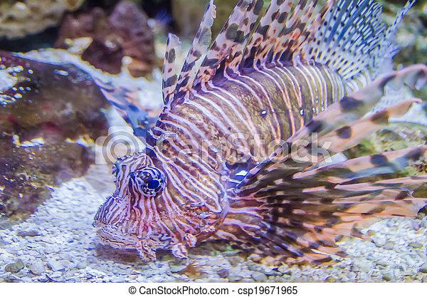 poisonous exotic zebra striped lion fish - csp19671965