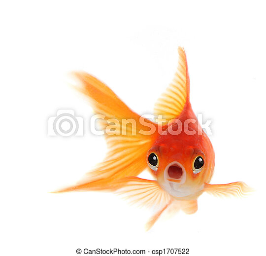 poisson rouge, fond blanc, isolé, choqué - csp1707522