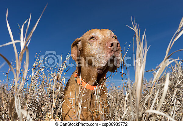 poiting dog in the tall autumn grass outdoors - csp36933772