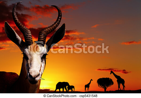 pojem, afričan, druh - csp5431548