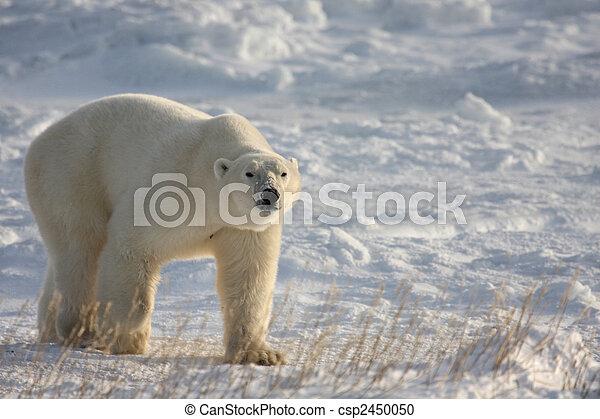 polar, arktisk, sne, bjørn - csp2450050