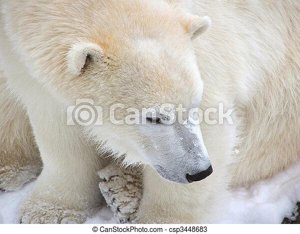 Polar bear close-up. Close-up of a calm female polar bear filling ...