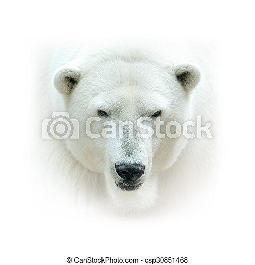 polar bear head isolated on white background high key