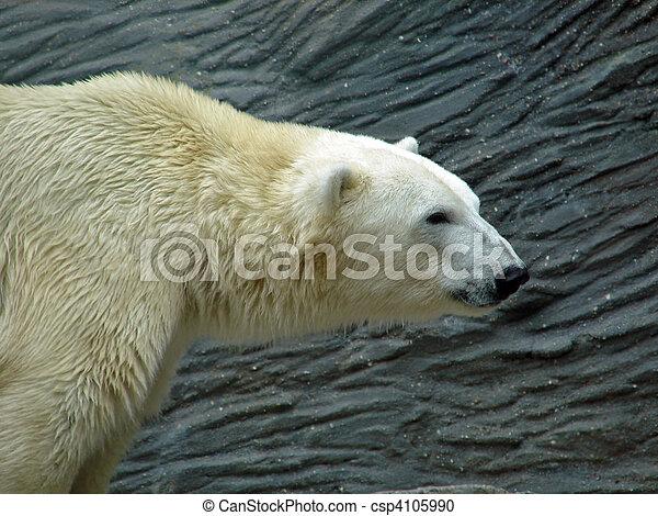 polar bear head polar bear close up photo