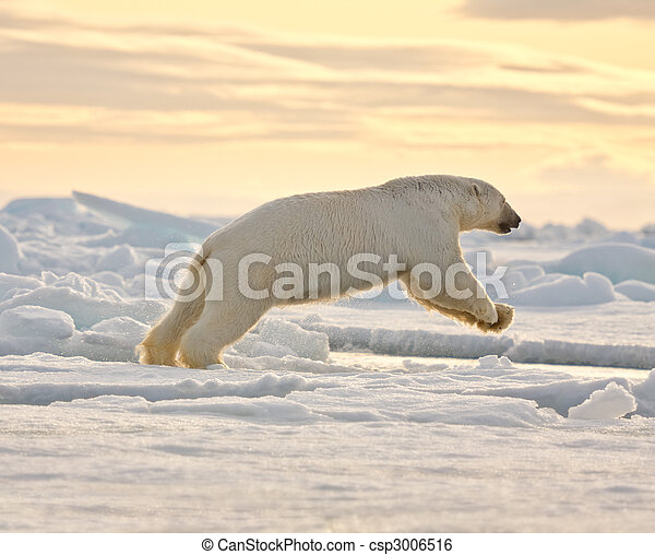 Polar Bear Leaping in the Snow - csp3006516