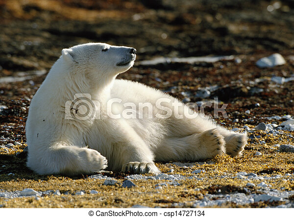 Polar bear lying on brown ground - csp14727134