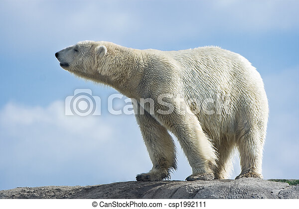 Polar bear walking on rocks - csp1992111