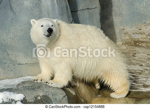 Junger Eisbär - csp12154888