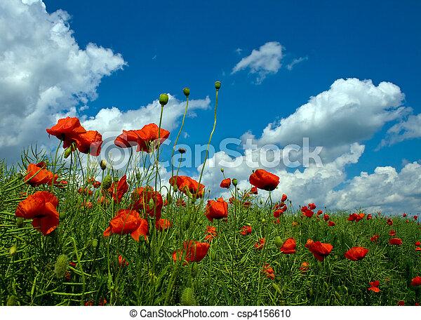pole, liczny, zielony czerwony, maki - csp4156610