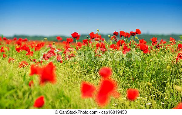 pole, zielony czerwony, maki - csp16019450