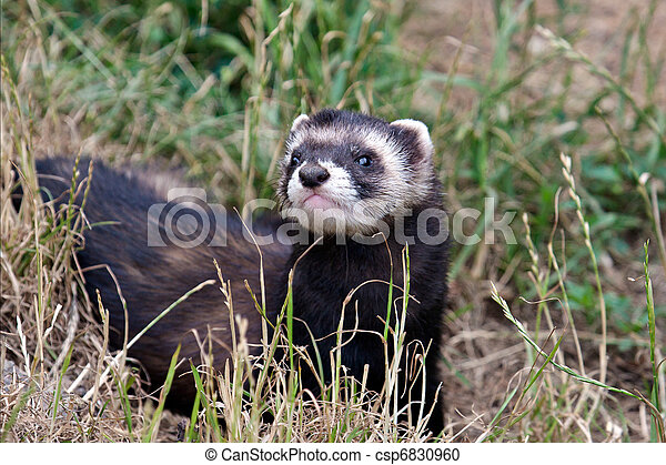 Polecat-coloured Ferret - csp6830960
