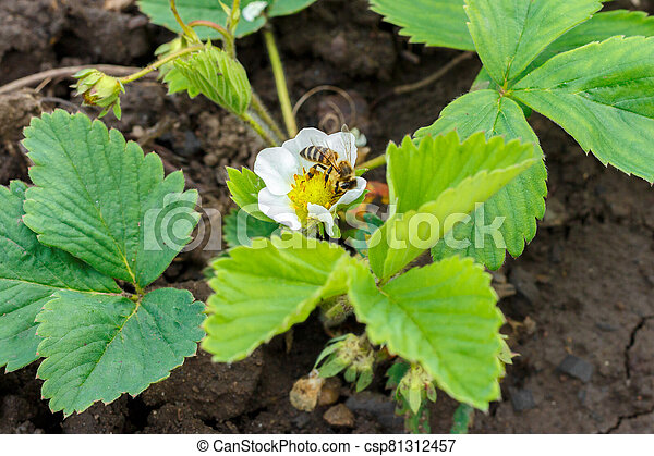 poliniza, fresa, blanco, se sienta, abeja, flor - csp81312457