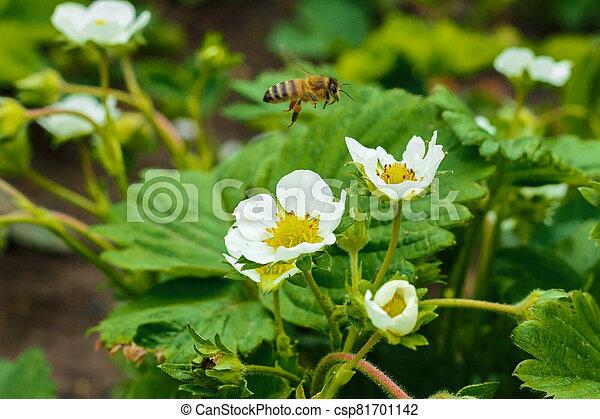 poliniza, fresa, se sienta, abeja, flor, blanco - csp81701142