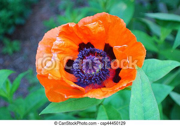 Pollen inside an oriental poppy flower in a garden garden with a pollen inside an oriental poppy flower in a garden csp44450129 mightylinksfo