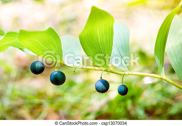Polygonatum officinale - csp13070034