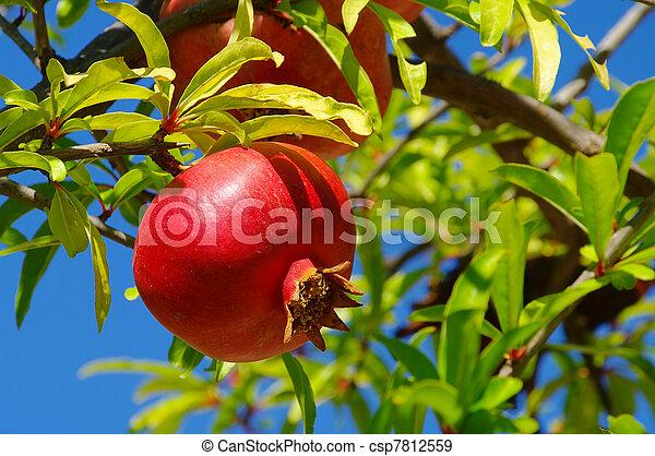 pomegranate 23 - csp7812559