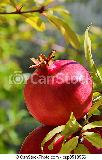 pomegranate 24 - csp8518556