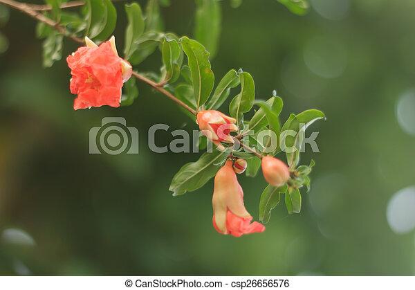 pomegranate flowers - csp26656576