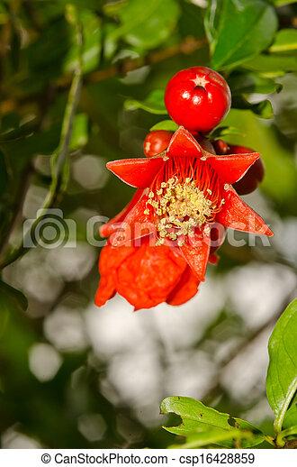 Pomegranate flowers - csp16428859
