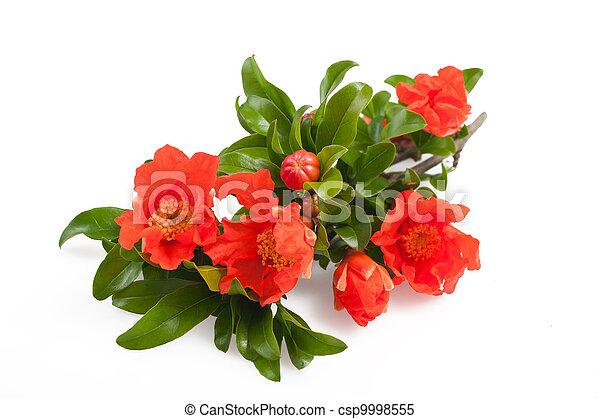 pomegranate flowers - csp9998555
