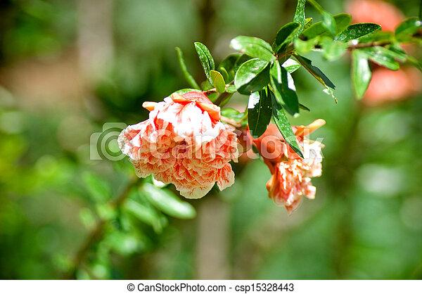 Pomegranate flowers - csp15328443