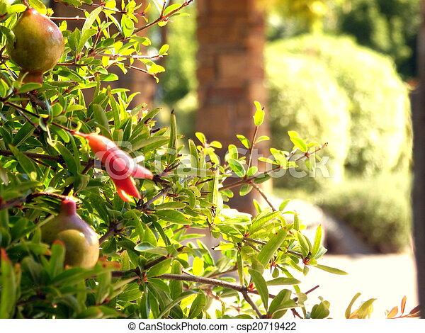pomegranate flowers - csp20719422