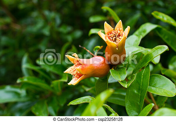 Pomegranate flowers - csp23258128