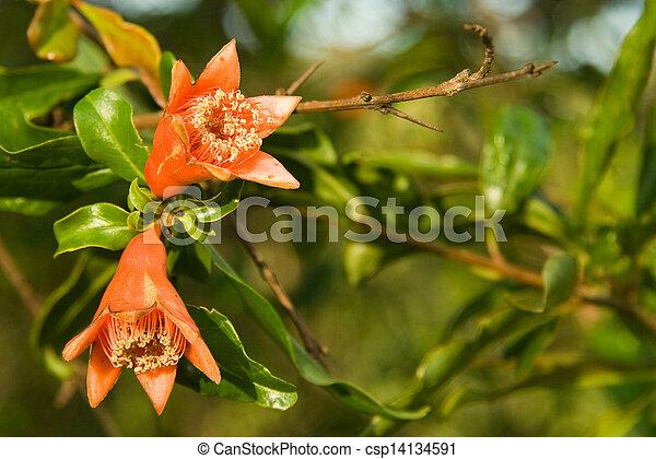 Pomegranate flowers - csp14134591