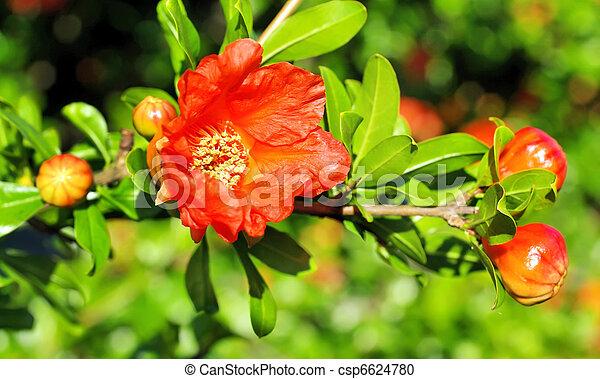 pomegranate flowers - csp6624780