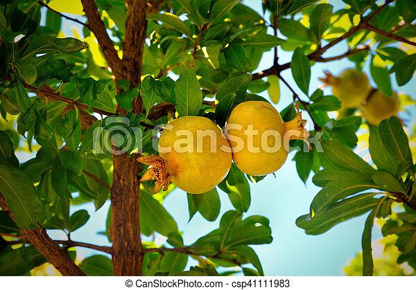 pomegranate on a tree - csp41111983
