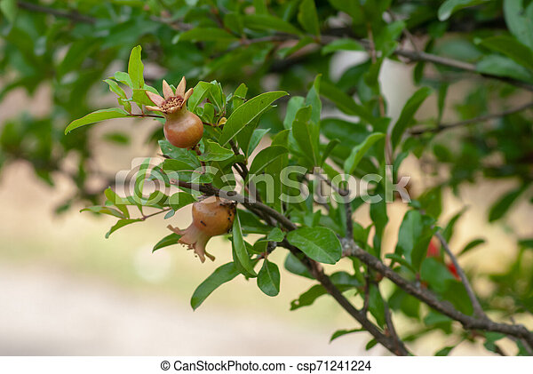 Pomegranate. the young fruit on a green branch with leaves of the pomegranate tree in the spring, - csp71241224
