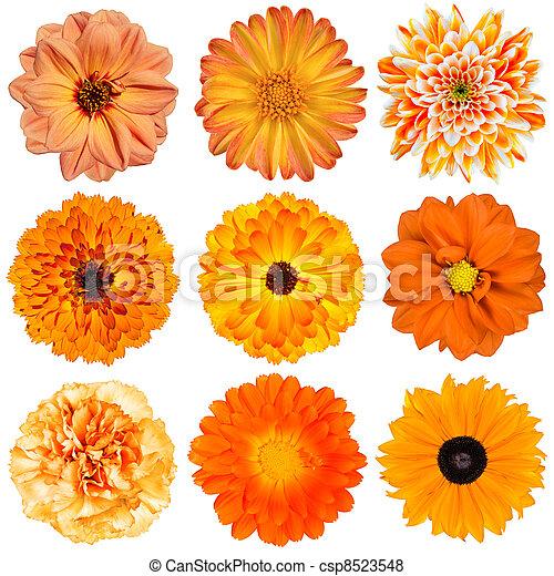 pomeranč květovat, neposkvrněný, selekce, osamocený - csp8523548