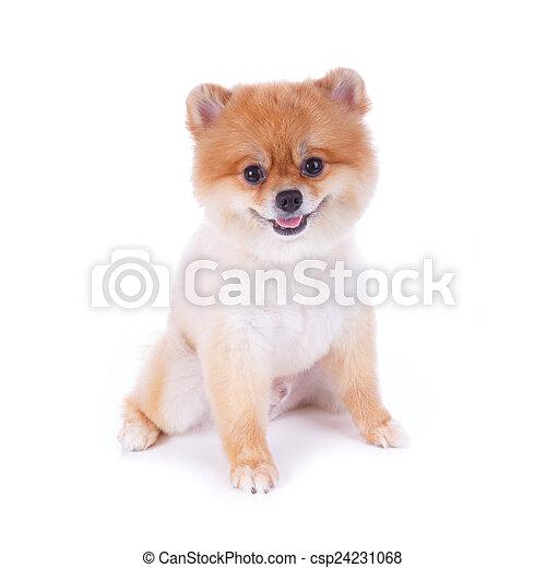 Pomeranian Dog Brown Short Hair On White Background