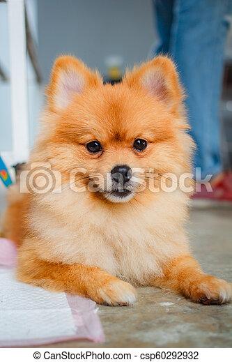 Pomeranian Dog Smile So Cute Pomeranian Dog Smile So Cute Beautiful Pomeranian Dog