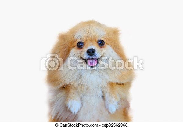 Pomeranian Dog Close Up Portrait Pomeranian Dog Small Isolation On