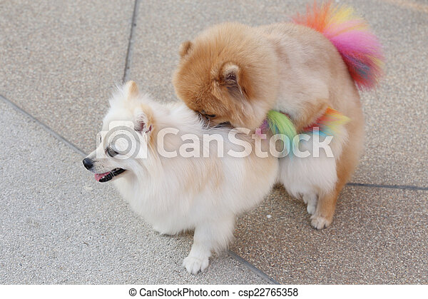 Small Dogs Mating